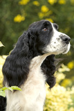 English Springer Spaniel Close-Up Photographic Print