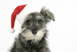 Schnauzer Puppy Wearing a Christmas Hat Photographic Print