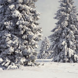 Spruce Fir Trees Covered in Snow Photographic Print