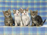 Tabby and White with Tabby Kittens Photographic Print