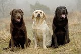 Labrador Yellow, Black and Chocolate Photographic Print