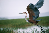 Goliath Heron Taking Off Photographic Print