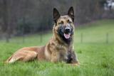 Belgian Shepherd Dog Photographic Print