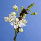 Plum Tree Blossom Photographic Print