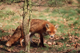 Red Fox Adult Behind Small Tree Photographic Print
