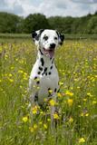 Dalmatian Sitting in Buttercup Field Fotografisk tryk
