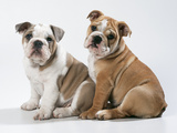 Two BullPuppies, Sitting, Studio Shot Photographic Print