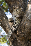 Leopard Resting in Fork of Tree Photographic Print by Alan J. S. Weaving
