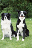 Border Collie and Smooth Border Collie Photographic Print