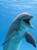 Bottlenose Dolphin Underwater Fotografisk tryk af Augusto Leandro Stanzani