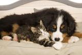 Bermese Mountain Dog Puppy with Kitten on Dog Bed Fotografisk tryk