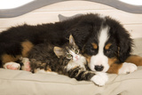 Bermese Mountain Dog Puppy with Kitten on Dog Bed Photographic Print