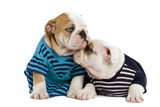 English Bulldogs in Studio Wearing Stripey Tops Photographic Print