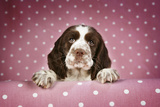 Springer Spaniel Puppy (Approx 10 Weeks Old) Photographic Print