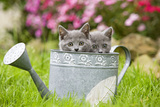 Two Chartreux Kittens in Watering Can Photographic Print