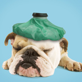 English Bulldog with Ice Pack Photographic Print