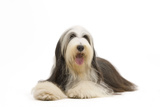 Bearded Collie Photographic Print