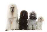 Poodles Row of 4 (Caniche) Photographic Print