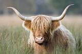 Highland Cattle Fotografisk tryk