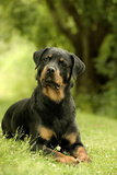 Rottweiler Dog Lying on Grass Photographic Print