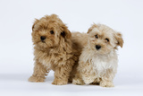 Havanese Puppies in Studio Photographic Print