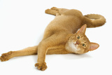 Abyssinian Red in Studio Photographic Print