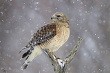Red-Shouldered Hawk Adult Pale Male in Snow Photographic Print
