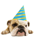 English Bulldog Lying Down Wearing Party Hat Photographic Print