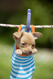 Chihuahua Puppy Hanging in Sock (4 Weeks) Photographic Print