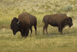 American Bison, Buffalo Male (Large) and Female Photographic Print