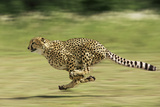 Cheetah Running Fotografisk tryk