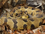 Timber Rattlesnake Photographic Print