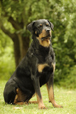 Rottweiler Dog Sitting on Grass Photographic Print