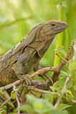 Spiny-Tailed Iguana Photographic Print