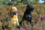 Yellow Labrador Sitting Next to Black Labrador Photographic Print