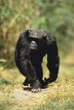 Eastern Long-Haired Chimpanzee Photographic Print