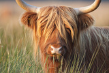 Highland Cattle Chewing on Grass Fotografisk tryk