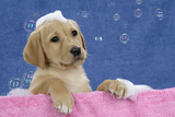 Labrador Retriever 9 Wk Old Puppies With Photographic Print