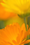 Pot Marigold Flowers Photographic Print