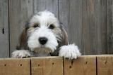Petit Basset Griffon Vendeen Puppy 4 Months Photographic Print