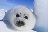 Harp Seal Baby Photographic Print