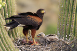 Harris' Hawk on Nest in Saguaro Cactus, with Chicks Photographic Print