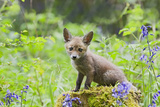Red Fox Cub on Mossy Stump with Bluebells Photographic Print