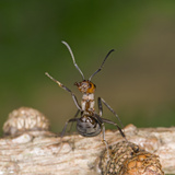 Wood Ant Defence Posture Photographic Print