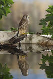 Common Kestrel with Reflection Photographic Print
