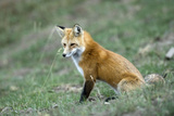 Red Fox Side View of Animal Sitting Photographic Print