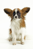 Papillon, Sitting Photographic Print
