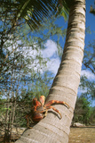 Giant Robber, Coconut Crab Photographic Print