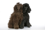 Brown Poodle and Black Poodle Photographic Print