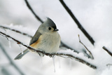 Tufted Titmouse on Branch in Snow Photographic Print